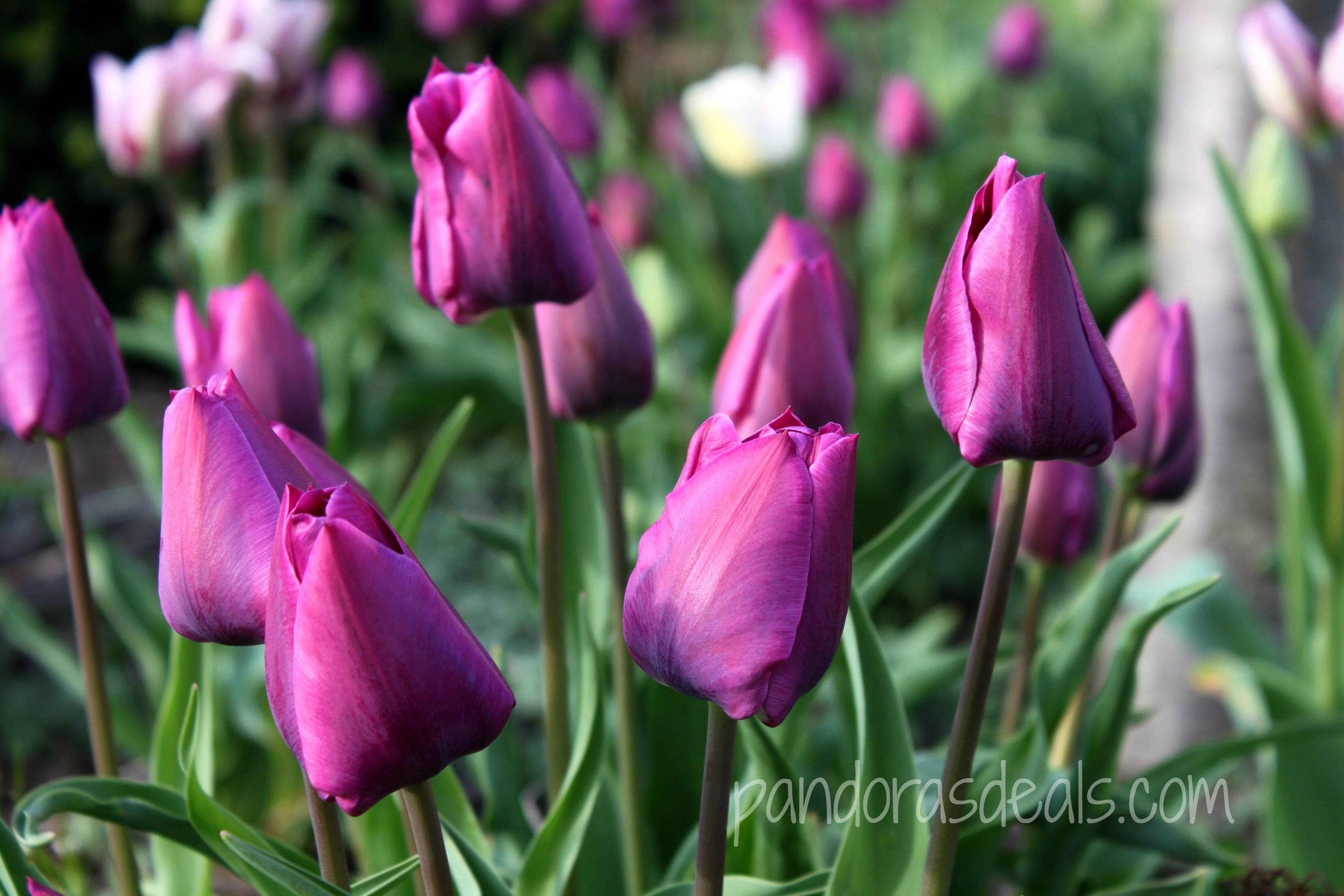 Blueberry Tulips