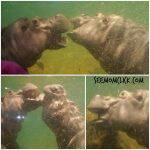 Hippo Haven Now Open at Adventure Aquarium in Camden, NJ + Ticket Giveaway!